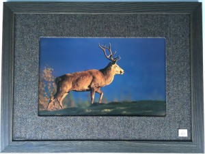 Stag 700x535 £295